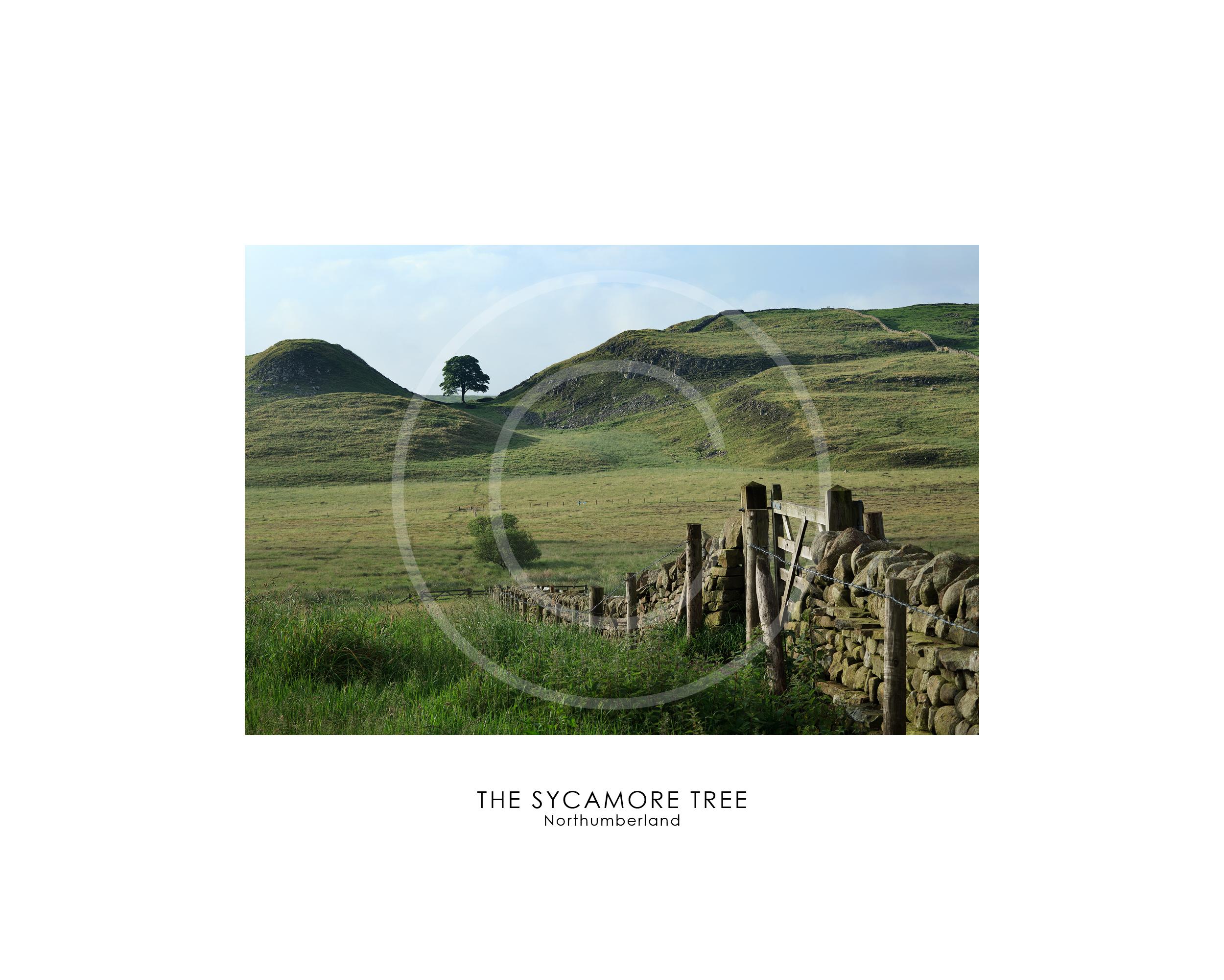 sycamore tree Northumberland